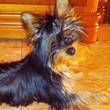 Mickey - Yorkshire Terrier