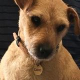Gibbs (Lakeland Terrier)