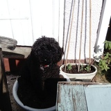 Ted (Medium poodle)