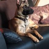 Loki (Belgischer Schäferhund)