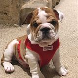 Apollo (English Bulldog)