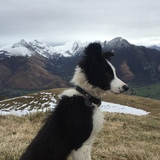 kea - Border Collie