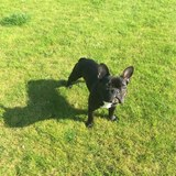 Charlie (French Bulldog)