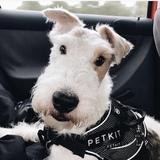 Luka - Fox Terrier De Pelo Duro