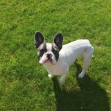 Arnie (French Bulldog)