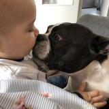 Grunge (Boston Terrier)