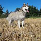 Maiko (Malamute De L'alaska)