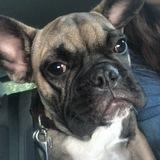 Chapo (Französische Bulldogge)