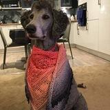 Maisy (Giant Poodle)