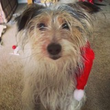 Bessie (Jack Russell Terrier)