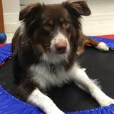 Rocky (Australian Shepherd)