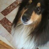Lufy (Rough Collie)