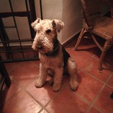 Riga - Airedale Terrier