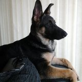 Lola (German Shepherd Dog)