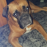 Hugo (Boxer)