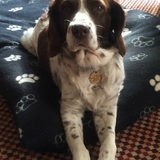 Rosie  (English Springer Spaniel)