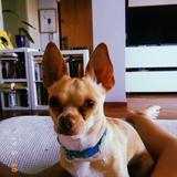Stich (Chihuahua)