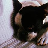 Tresa (Bulldog Francés)