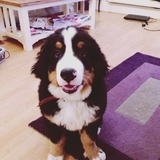 Toby (Bernese Mountain Dog)
