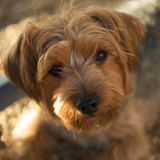 Max (Yorkshire Terrier)