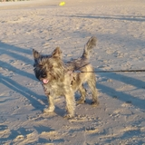 Max (Cairn Terrier)