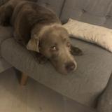 Filou (Labrador Retriever)