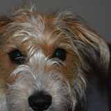 Lia (Parson Russell Terrier)