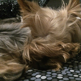 Babi (Yorkshire Terrier)