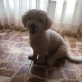 Toby  (Caniche Enano)
