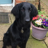 Scout (Flat Coated Retriever)