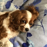Holly (Cavalier King Charles Spaniel)