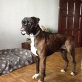 Queca (Boxer)