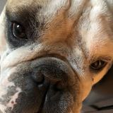 Ugo (Bulldog Anglais)