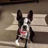 Nylah - Boston Terrier
