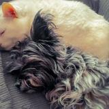 Pippa - Cairn Terrier