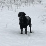 Matti (Curly Coated Retriever)