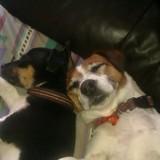 Peachy & Sid (Jack Russell Terrier)