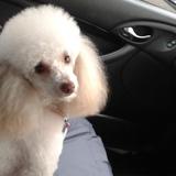 Tilly   Tia (Poodle)