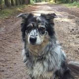Bluna (Australian Shepherd)