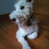 Kora  (Fox Terrier De Pelo Duro)