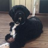 Cooper (Portugiesischer Wasserhund)