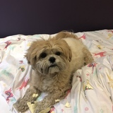 Cookie (Lhasa Apso)