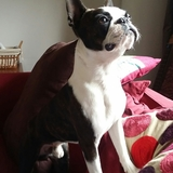 Jatxou (Boston Terrier)