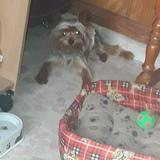 Yeico (Yorkshire Terrier)