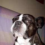 Dexter - Bulldog Francés