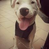 Olaf  (Dogo Argentino)