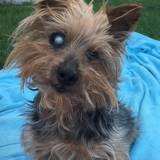 Totó (Yorkshire Terrier)