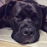 Enzo (Mastiff)