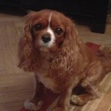Archie (Cavalier King Charles Spaniel)