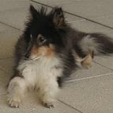 Micky (Perro Pastor De Shetland)